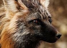 Red Fox, Denali National Park and Preserve, Alaska (pinned by haw-creek.com)