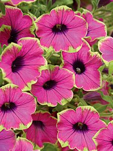 "What a wow this is in the garden! It's  called ""pretty much picasso"" petunia."