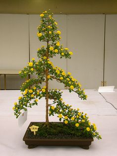 Chrysanthemum bonsai  | bonsai of chrysanthemum | Flickr - Photo Sharing!