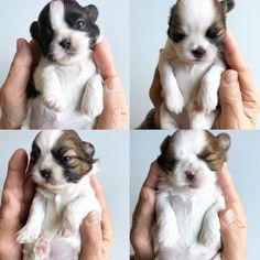 15 days old Shih Tzu puppies #shihtzu