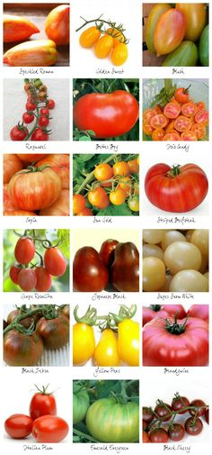 Spring Tomato Gardening - 18 tomato plants to try growing via homework
