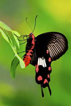 ~~Common Rose Butterfly by Kenneth Er~~