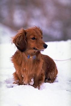"would not, Could not say ""No"" to one of these!  Would be the perfect addition to our family: a teeny little Miniature Longhair Dachshund,  I can smell the puppy breath already."