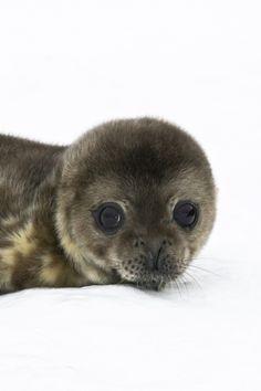Antarctica - baby seal (pup)