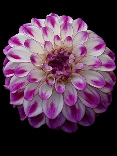 Just Gorgeous.... Dahlia flower... - Pixdaus