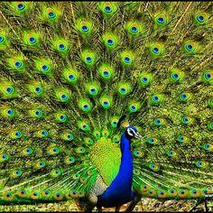 Photo taken at Gir Forest National Park India #iphonography #photooftheday #nikond90 #india #gujarat #vadodara #baroda #indian #gujarati #iphonesia #instagram #webstagram #instagood #statigram #tweegram #me #jj #awesome #peacock #animal #jungle #bird #gir