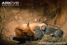 Red fox vixen suckling cubs: definitly not created for our Hunting pleasures