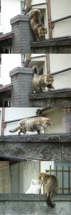 This cat walked on a spiked wall to meet his girlfriend