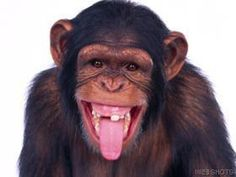 Chimpanzee Sticking Out Tongue - Primates Wallpaper ID 20729 - Desktop Nexus Animals Monkey Mind, Cute Monkey, Primates, Photos Singe, Funny Monkey Pictures, Face Pictures, Types Of Monkeys, Monkey Wallpaper, Funny Animal Pictures