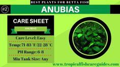 Best Betta Fish Plants- Anubias