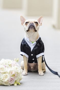 French Bulldog Weari French Bulldog Wearing Tux Sitting Next To
