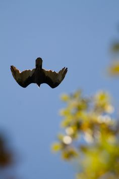 Flying overhead looking for lunch!