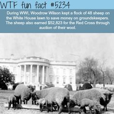 Sheep on the White House grounds during Woodrow Wilson's presidency