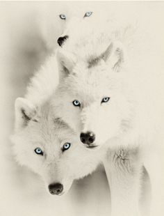 Wolves- awesome!!!!!!!!!!!! <3 <3 <3 <3