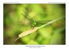Canada, Animals, Dragonflies, Animaux, Animal, Animales, Animais