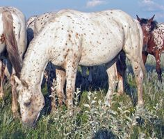 Appaloosa - Bing Images