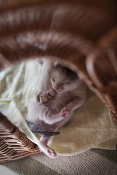 I imagine this was exactly how Snuggles looked when she was a newborn kitten :)