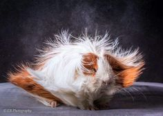Guinea pig zone Animal Pictures, Cute Pictures, Majestic Hair, Baby Guinea Pigs, Rabbit Cages, Strange Photos, Abyssinian, Animals Of The World, Bad Hair