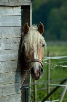 ♥...Love those palominos... i love konie.