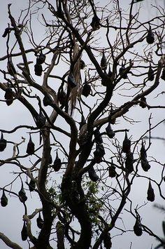 Multiple bats in tree