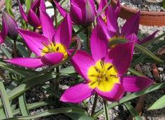 Information about growing T. kaufmanniana, T. fosteriana, and T. greigii tulips  (Pictured here: tulipa humilis 'Persian Pearl')
