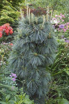 Pinus wallichiana 'Nana' (Dwarf Himalayan Pine, Butan Pine) | pruning directions for keeping a pine dwarf