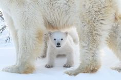 "Fantastic Gallery of Animal Photos Nominated For National Geographic Travel Photographer of The Year"" Contest Photos) - World's largest collection of cat memes and other animals Baby Animals, Funny Animals, Cute Animals, Wild Animals, Polar Bear Adaptations, National Geographic Travel, Bear Cubs, Polar Bears, Polar Cub"
