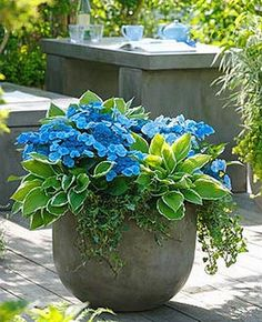 Gardening Container SUCH A GORGEOUS PLANTER ~ Shade Container = Blue Wave Hydrangea= Hosta Francee = Ivy - Whether you've got an acre of land or just a windowsill, it's a good idea to grow herbs in containers for easy access to their wonderful flavors. Container Flowers, Container Plants, Container Gardening, Plant Containers, Container Vegetables, Planters For Shade, Garden Planters, Planters Around Pool, Porch Garden