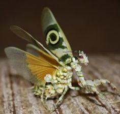 Pseudocreobotra wahlbergii  Ordem: Mantodea  Esta espécie de louva-deus tem sua área de distribuição natural na África sub-saariana.