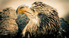 hd images of hd bald eagle wallpaper