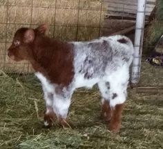 Shorthorn Archives | Page 2 of 8 | Cattle BlogsCattle Blogs | Page 2