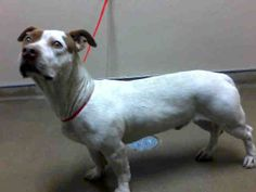 *YODA - ID#A755018  Shelter staff named me YODA.  I am a male, white and tan Basset Hound mix.  The shelter staff think I am about 3 years o...
