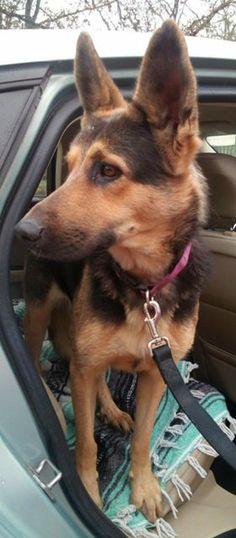 German Shepherd Dog dog for Adoption in Sebec, ME. ADN-755002 on PuppyFinder.com Gender: Female. Age: Young