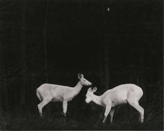White deer at the forest edge.