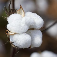 Alabama Cotton Boll Photograph - Alabama Cotton Boll Fine Art Print