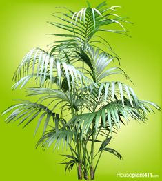 Indoor Palms, Indoor Plants Low Light, Indoor Trees, Indoor Plant Wall, Plant Wall Decor, Container Plants, Container Gardening, Plant Pests, Poisonous Plants
