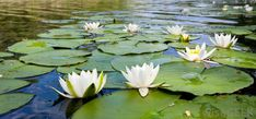 Water lilies may be planted to add a natural touch to a backyard waterfall and pond. Description from wisegeek.com. I searched for this on bing.com/images