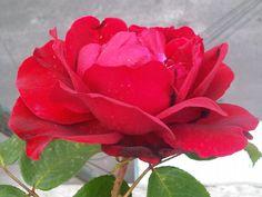 La rosa completa...