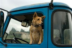 Rules of the Road: Petplan pet insurance on the danger of dogs riding in the back of pickup trucks