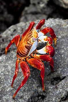 Sally Lightfoot Crab | Photo: Dave Fleetham - Printscapes with Pin-It-Button on #fineartamerica