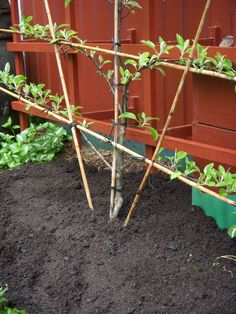 espalier how to get it started