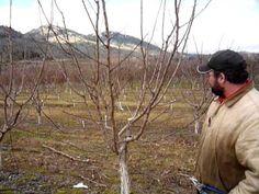 Pruning plum trees Pruning Plum Trees, Outdoors, Gardening, World, Craft, Creative Crafts, Lawn And Garden, Crafting, Handmade