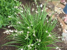 Anthericum saundersiae - weeping anthericum Frost tolerant Sun to shade Evergreen Flowers spring and summer