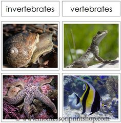 Vertebrate and Invertebrate Cards - Printable Montessori Animal Materials for Montessori Learning at home and school.  $3.89