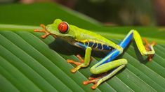 Looking for a Costa Rica itinerary to plan your trip? From Arenal to Monteverde, the Caribbean to the Pacific, here's the ultimate two weeks in Costa Rica. Hiroshima, Types Of Frogs, Voyage Costa Rica, Red Eyed Tree Frog, Trekking, Kairo, Frog And Toad, Frog Frog, Leaf Coloring