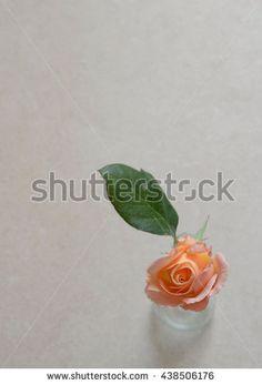 Rose Image ID:438506176 Copyright: Alina Craita