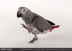 Young Grey Parrot