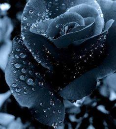 Midnight Blue Rose