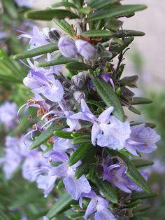 Il Rosmarino rosmarinus officinalis è una pianta arbustiva sempreverde che cresce spontaneamente o naturalizzata su gran parte delle coste mediterranee. in Italia è presente