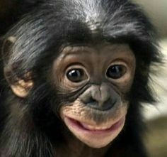 Bonobo smiles can mean different things like fear or playfulness. They also have large grins when they are wrestling with other bonobos and laughing. Bonobos are a critically endangered species in … Cute Baby Animals, Animals And Pets, Funny Animals, Strange Animals, Wild Animals, Monkeys Animals, Smiling Animals, Animal Babies, Primates